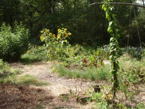 A photo of a diverse garden featuring sunflowers, climbing vines, straw mulch, and more.