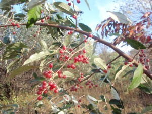 A photo of an autumn olive branch, laden with relatively large, red berries.