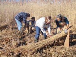 Harvesting Reed