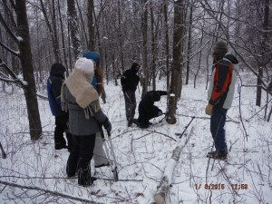 Harvesting poles from the woods.