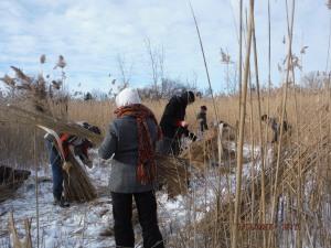 Harvesting Phragmite Reed bundles.